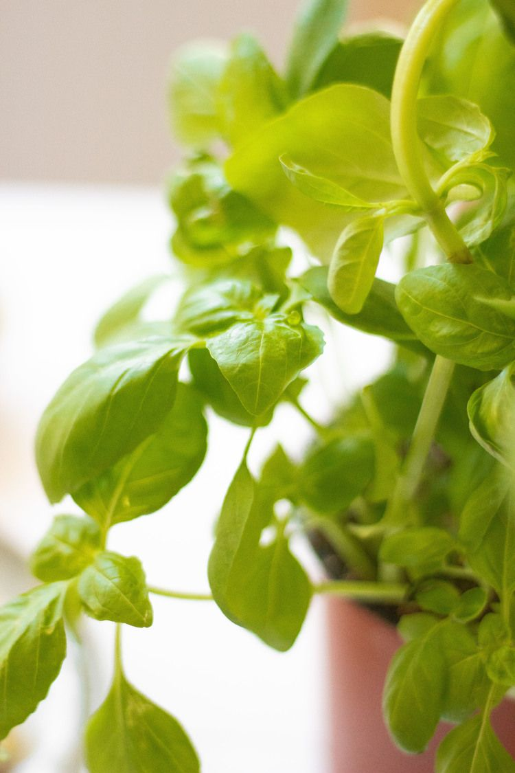 fresh basil in a pot